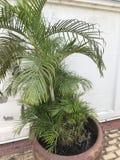 Dypsis lutescens, areki palma, Złota trzciny palma lub motyl palma Zdjęcie Royalty Free