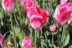 Dyrbara rosa färger som poserar tulpan Royaltyfria Bilder