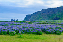 Dyrholaey en udde i södra Island Arkivfoto