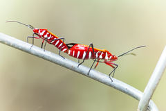 Dysdercus cingulatus. Is a species of true bug in the family Pyrrhocoridae, commonly known as the red cotton stainer. It is a serious pest of cotton crops, the Royalty Free Stock Photography