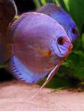 dysk ryb Zdjęcie Royalty Free