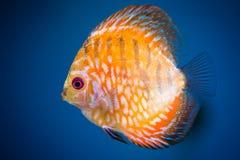 Dysk ryba Zdjęcia Royalty Free