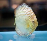 Dysk ryba Obrazy Royalty Free