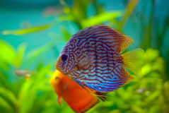 Dysk ryba Zdjęcia Stock