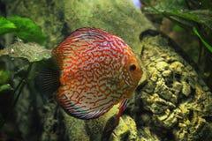 Dysk ryba Zdjęcie Stock