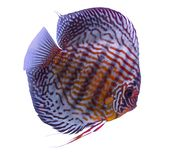 Dysk ryba odizolowywająca w białym tle Fotografia Stock