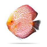 Dysk ryba odizolowywaj?ca na bia?ym tle wz?r pomara?czy ?cinek ?cie?ka obrazy stock