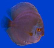 Dysk ryba w błękitnym tle Obrazy Stock