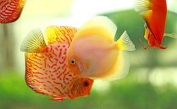 Dysk ryba w słodkowodnym akwarium Zdjęcia Royalty Free