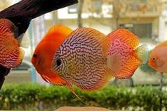 Dysk ryba w słodkowodnym akwarium Fotografia Stock