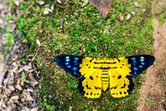 Dysphania militaris,从东亚的一只蝴蝶 库存图片