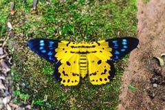 Dysphania militaris,从东亚的一只蝴蝶 库存照片