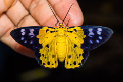 Dysphania militaris moth Royalty Free Stock Image