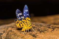 Dysphania militaris moth Royalty Free Stock Photography