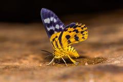 Dysphania militaris moth Royalty Free Stock Photos
