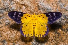 Dysphania militaris moth Stock Photo