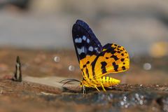 Dysphania militaris moth. On sand, in nature Stock Images
