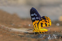Dysphania militaris moth. On sand, in nature Stock Photo