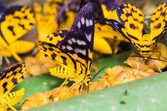 Dysphania militaris moths Stock Image