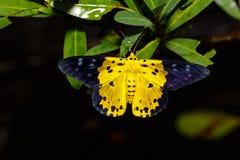 Dysphania militaris moths on leaf Stock Photo