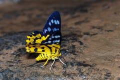 Dysphania militaris moths. Sucking food from water Royalty Free Stock Image