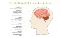Dystrybucja CB1 receptory w mózg ilustracja wektor