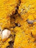 Dywan Żółty liszaj na ścianie Fotografia Royalty Free