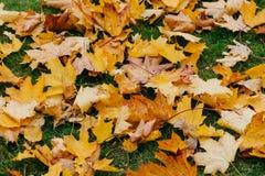 Dywan żółci jesień liście na ziemi Jaskrawi kolory sunlight Listopadu słoneczny dzień Sezon i parka pojęcie fotografia stock