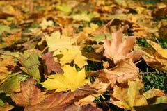 Dywan barwioni liście klonowi obrazy stock