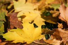 Dywan barwioni liście klonowi fotografia stock