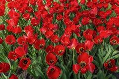 Dywan czerwoni tulipany Obrazy Stock