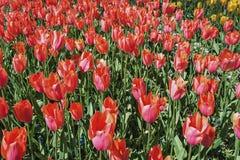 Dywan czerwoni tulipany Obrazy Royalty Free