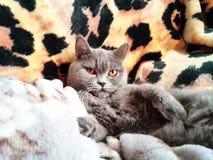 dywan kota miękkie Zdjęcie Royalty Free