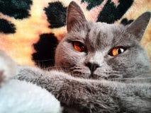 dywan kota miękkie Obrazy Stock