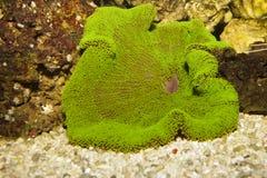 Dywanowy anemon, zieleń obraz stock