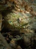 Dywanowy Węgorzowy Blenny - Congrogadus subducens Zdjęcie Royalty Free