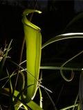 Dzbanecznik pluskwy myśliwego roślina Zdjęcie Stock