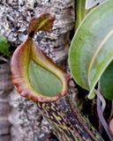 Dzbanecznika rajah mięsożerna miotacz roślina Fotografia Royalty Free