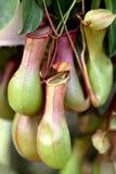 Dzbaneczniki, jedzą insekta kwiatu zdjęcia royalty free