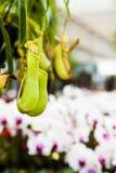 Dzbaneczniki z orchideą Zdjęcie Royalty Free