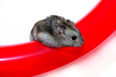 Dzhungarik. Hamster Jungar dzhungarik Phodopus sungorus kind hamster mohnonogih kind gnawer smallest home innocuous Stock Photography