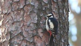 Dzięcioł młotkuje barkentynę i wspinaczkowy w górę drzewa zbiory