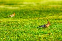 Dzięcioł na trawie Obrazy Stock