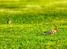 Dzięcioł na trawie Obraz Stock