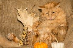 Dziękczynienie kot zdjęcie stock