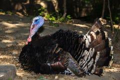 Dziękczynienie Turcja Tom   Zdjęcie Stock