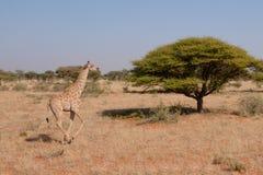 Działająca żyrafa Fotografia Royalty Free