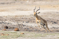 Działająca gazela w Południowa Afryka Zdjęcie Royalty Free