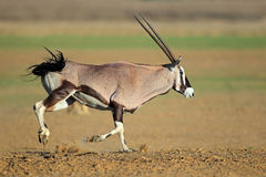 Działająca gemsbok antylopa Obraz Royalty Free