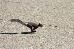działająca wiewiórka Zdjęcia Stock